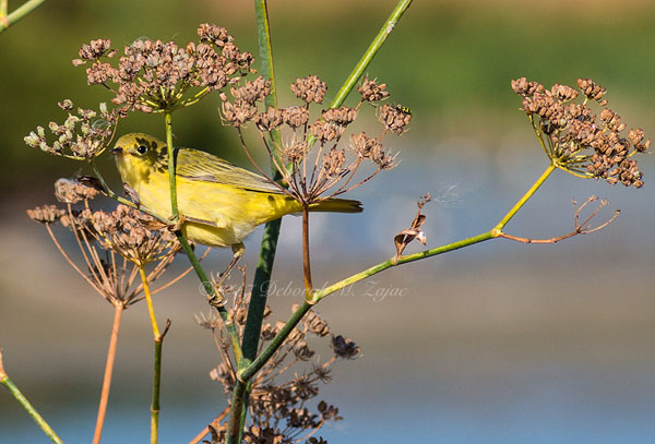 Yellow Warbler-Female