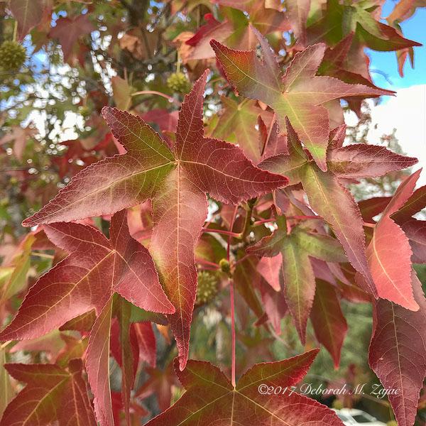 Liquid Amber Leaves in Fall