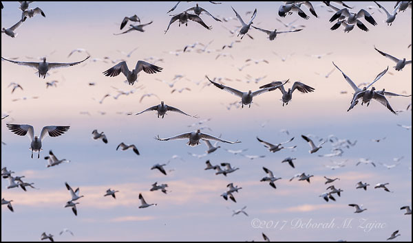 Snow Geese evening Fly-In