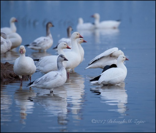 Wordless Wednesday 46/52 Ross's Goose and Snow Geese