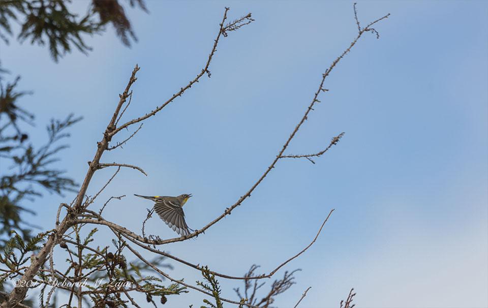 52 52 Yellow Rumped Warbler