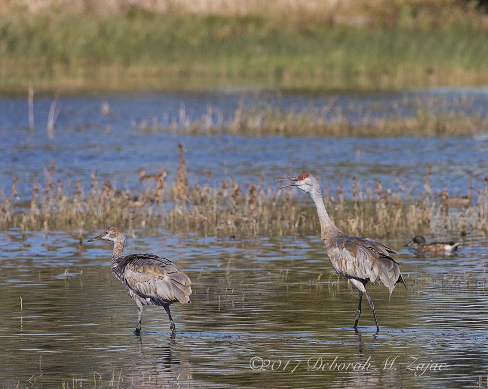 Sandhill Cranes Adult and Juvenile