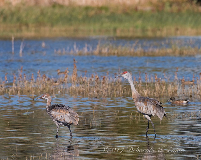 Sandhill Cranes Adult and Juvenile
