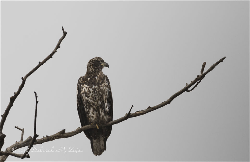 Juvenile Bald Eagle 3 yr old