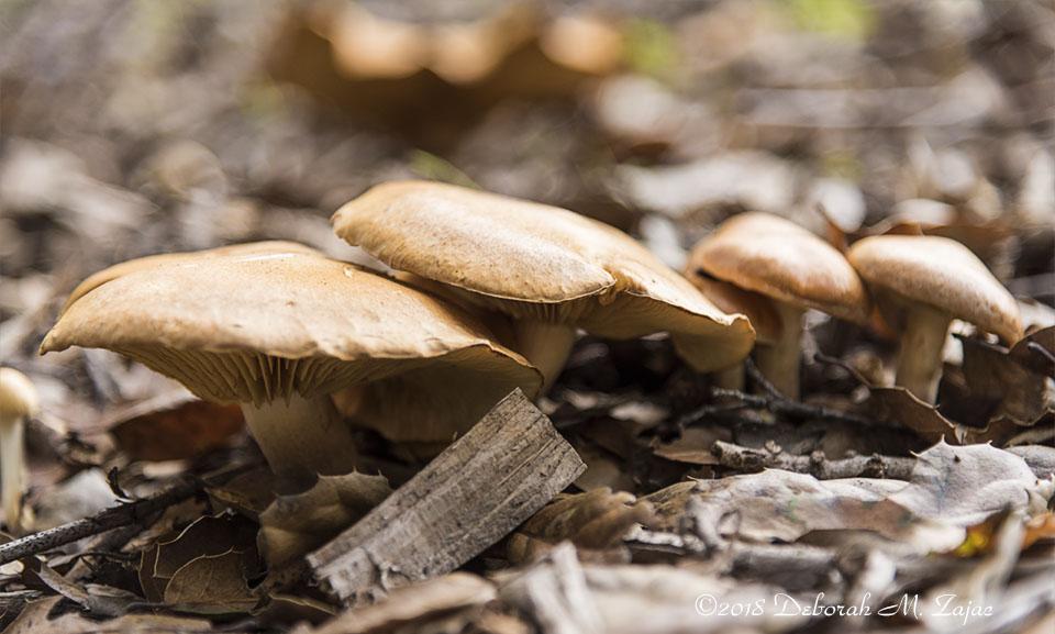 Wild Brown Mushrooms