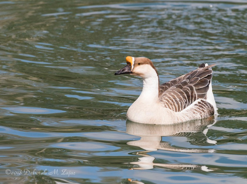African Goose in the Pond