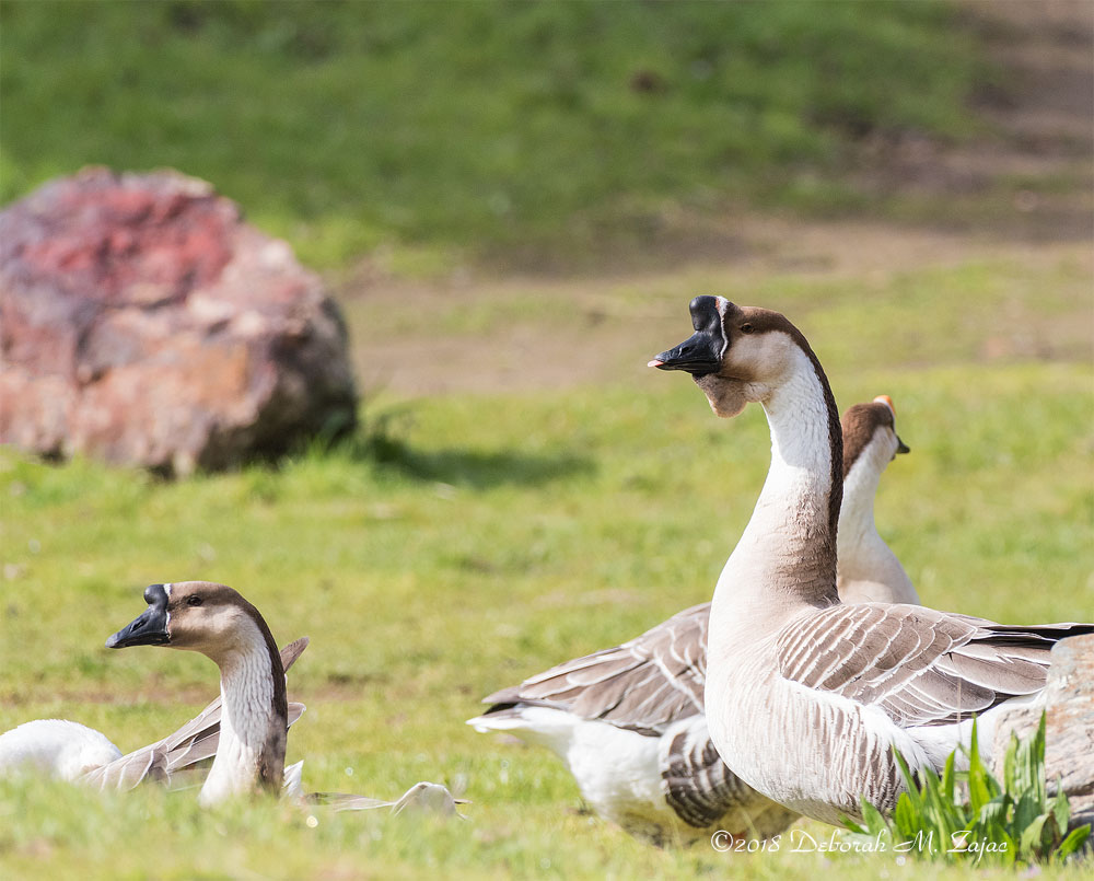 African Goose Male