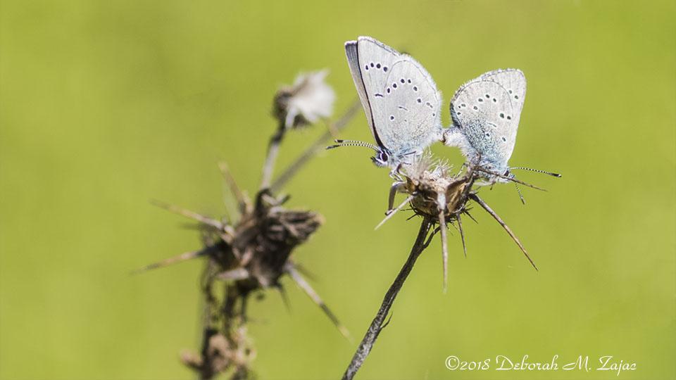 Silvery Gray Butterflies en Media Res 2