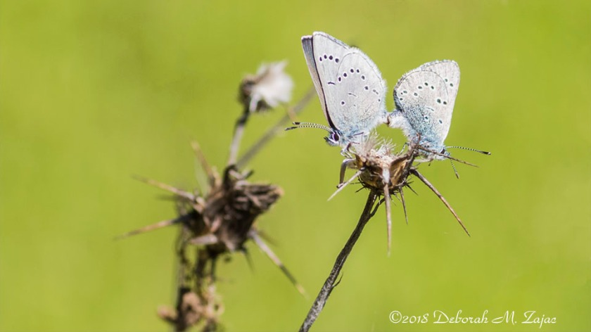 Silvery Gray Butterflies en Media Res 2