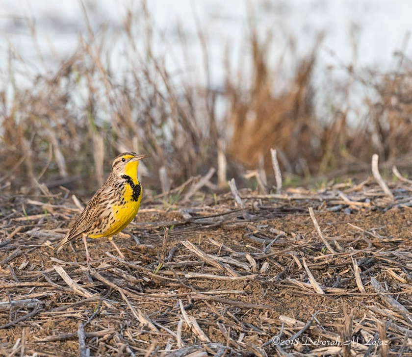 Western Meadowlark Male poser