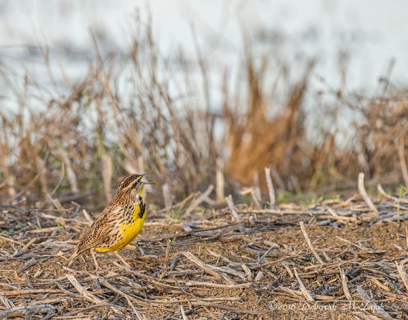 Western Meadowlark Male Singing