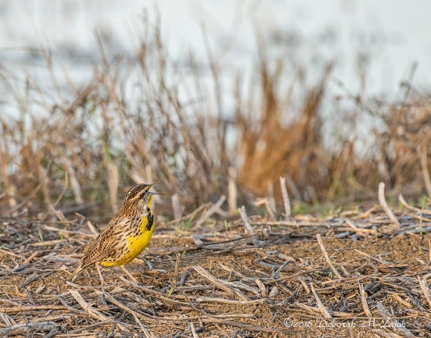 Western Meadowlark Male Singing