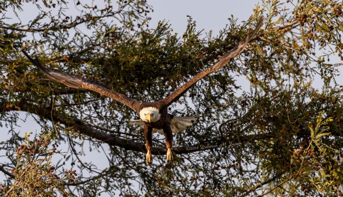 American Bald Eagle Adult Female