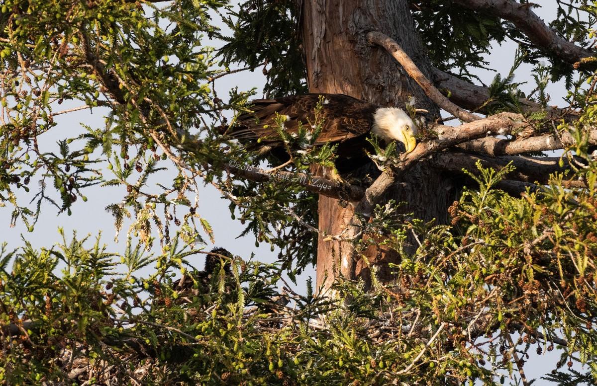 American Bald Eagle Adult Male