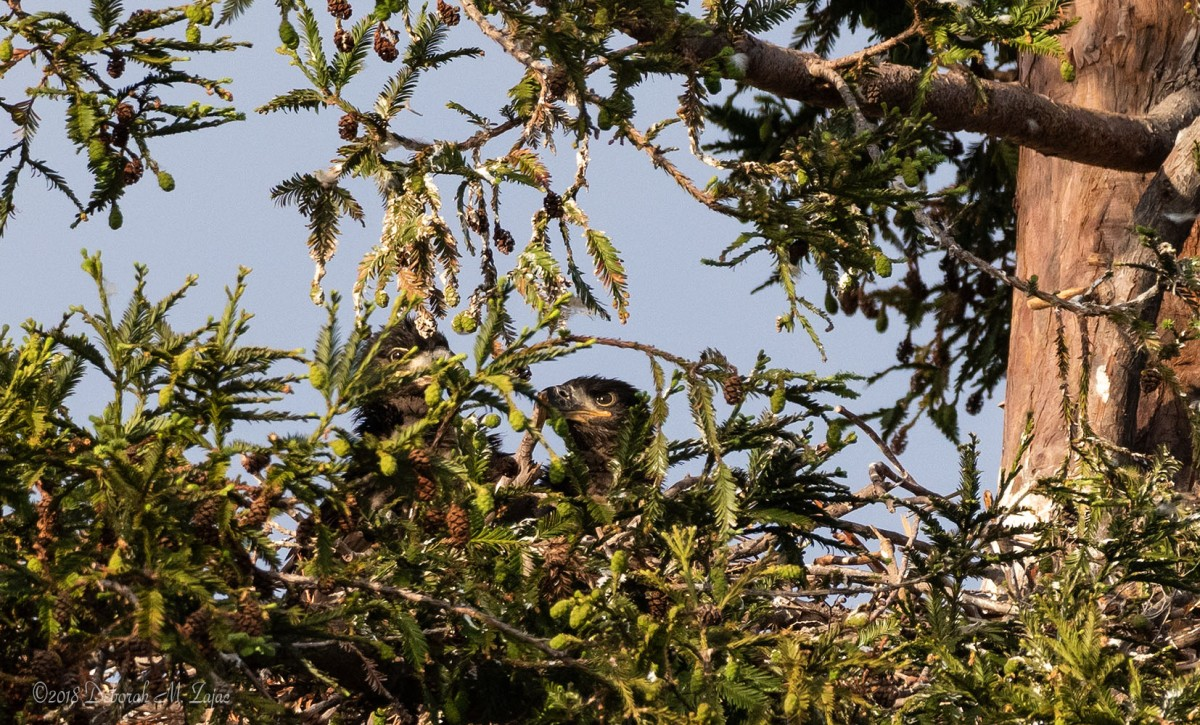 American Bald Eagle Chicks