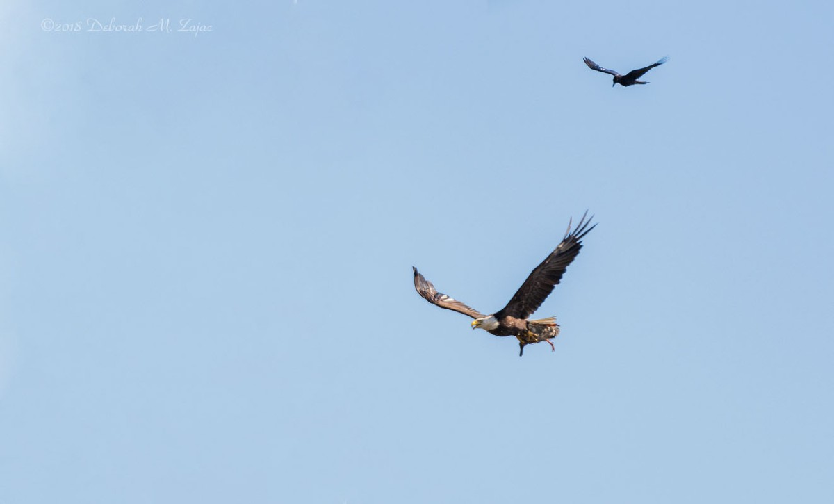 Milpitas Eagle Famale with Kill and Crow Chaser