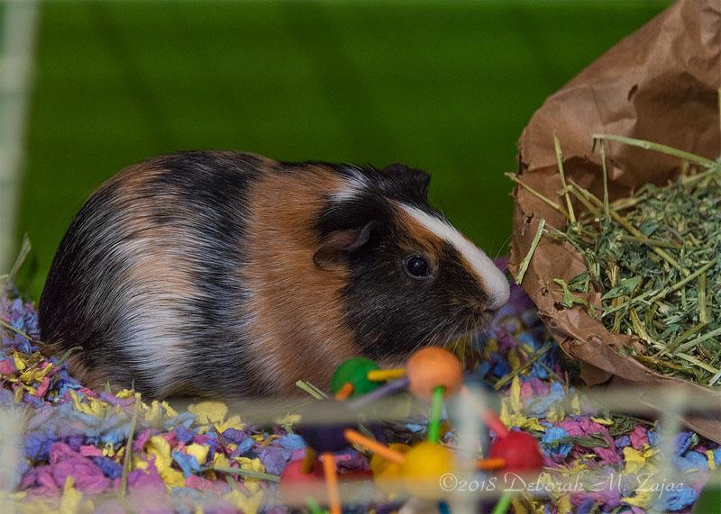 Box the Guinea Pig