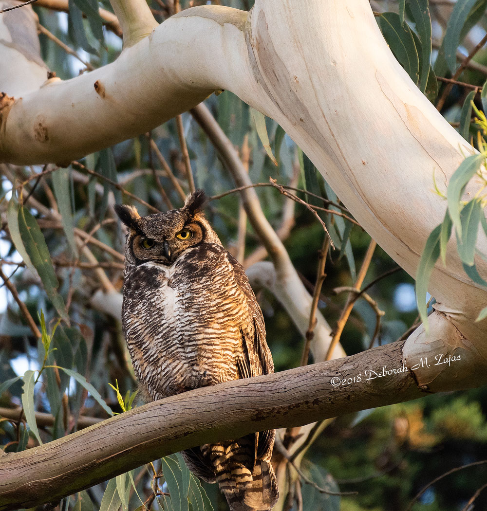 Great Horned Owl Female