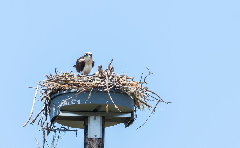 Osprey and Chicks_DMZ7350