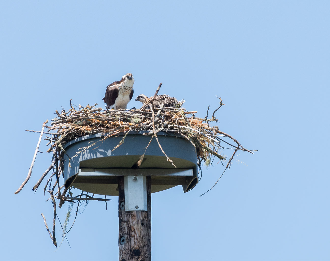 Osprey with Chicks in the Nest