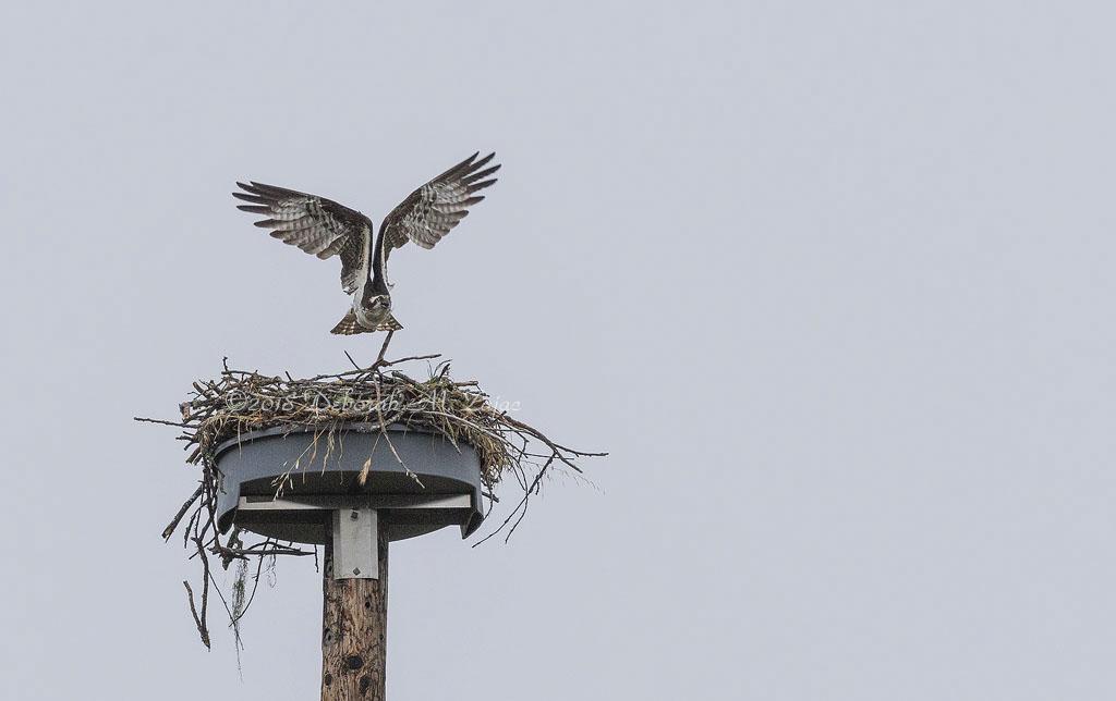 Opresy leaving the Nest
