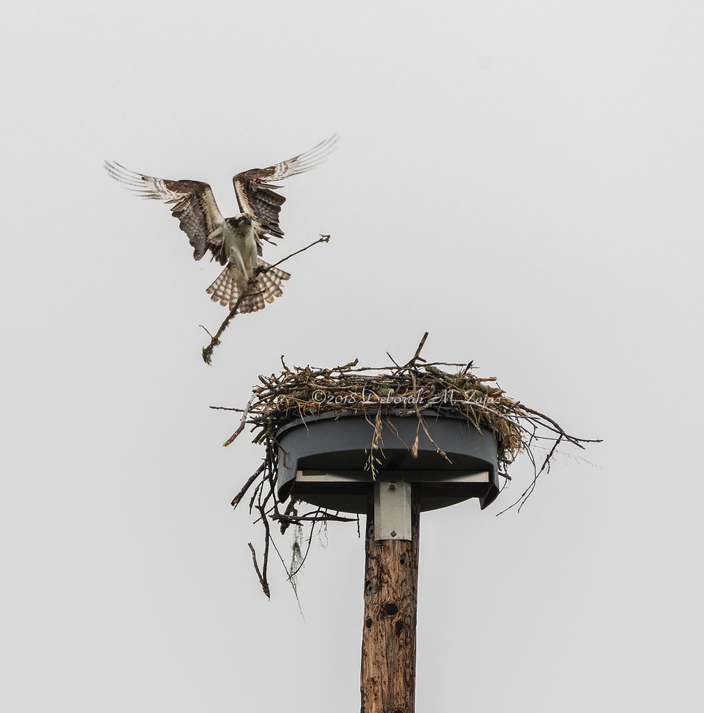Osprey Male with Nesting Material