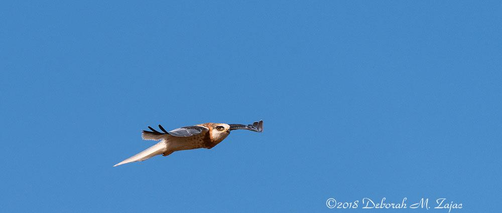 White-tailed Kite Fledgling in Flight