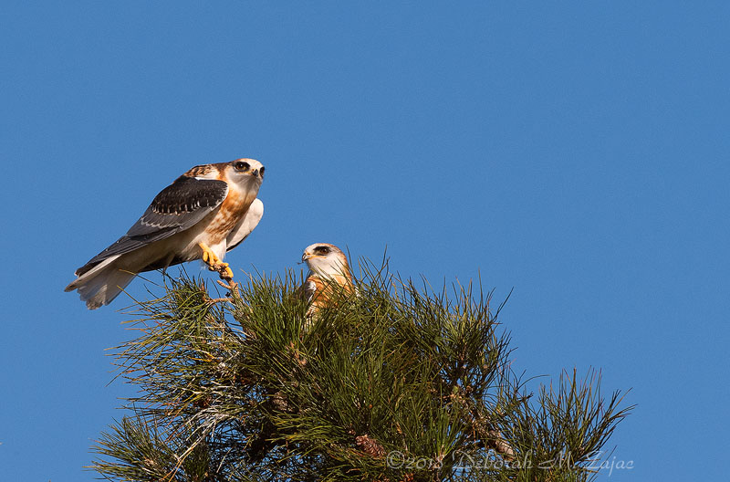 White-tailed Kite Fledglings