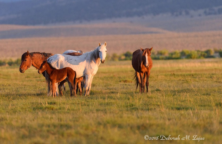 Wild Mustangs at Sunset