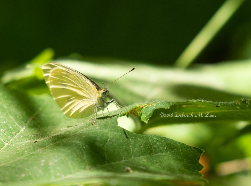 White Cabbage Butterfly ?