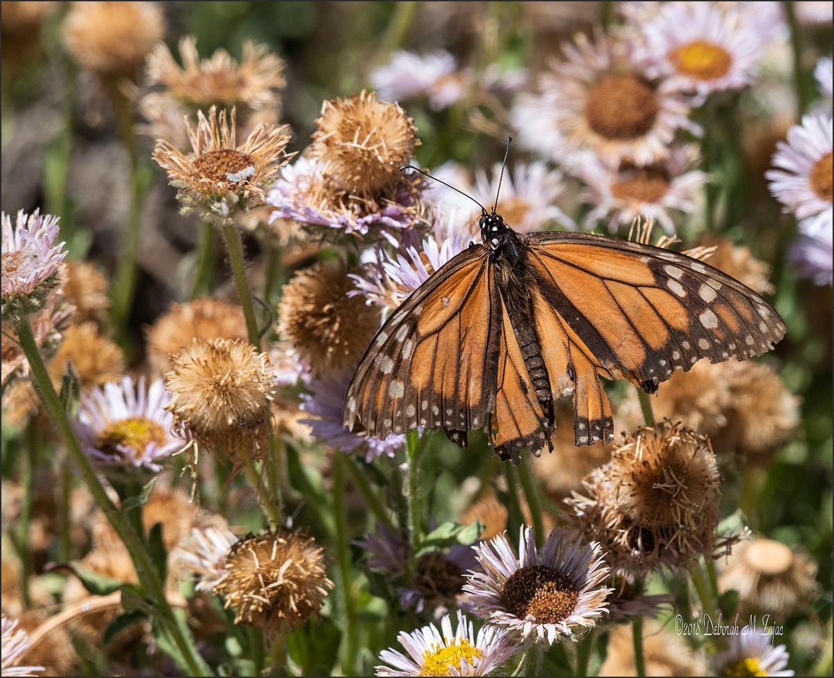 Monarch Butterfly-Male