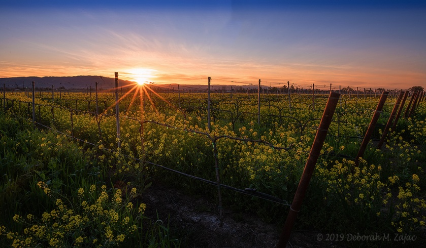 Sunset over the Wild Mustard and Vines