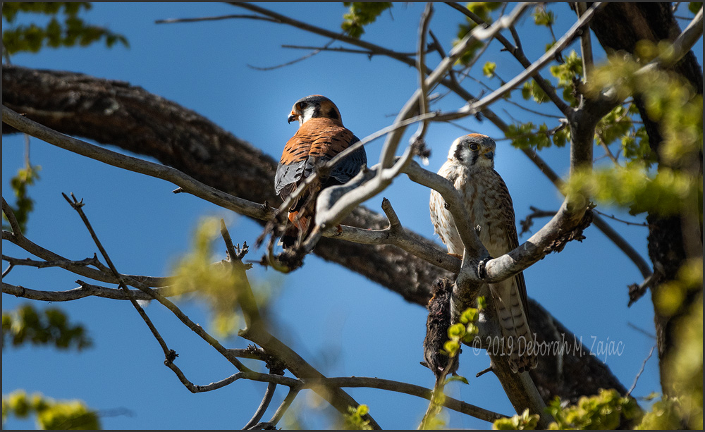 American Kestrel Pair with Prey