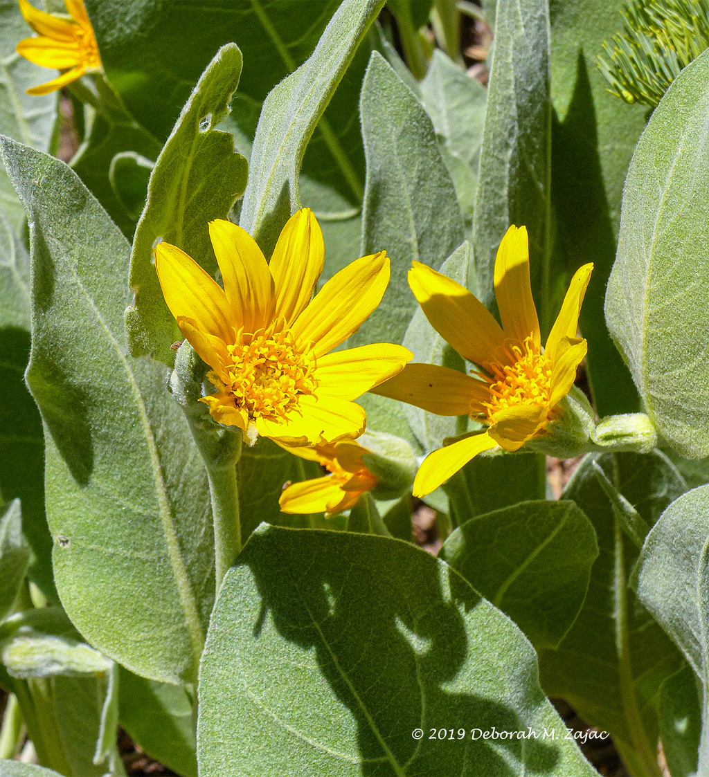 Mule's Ear-Wildflower