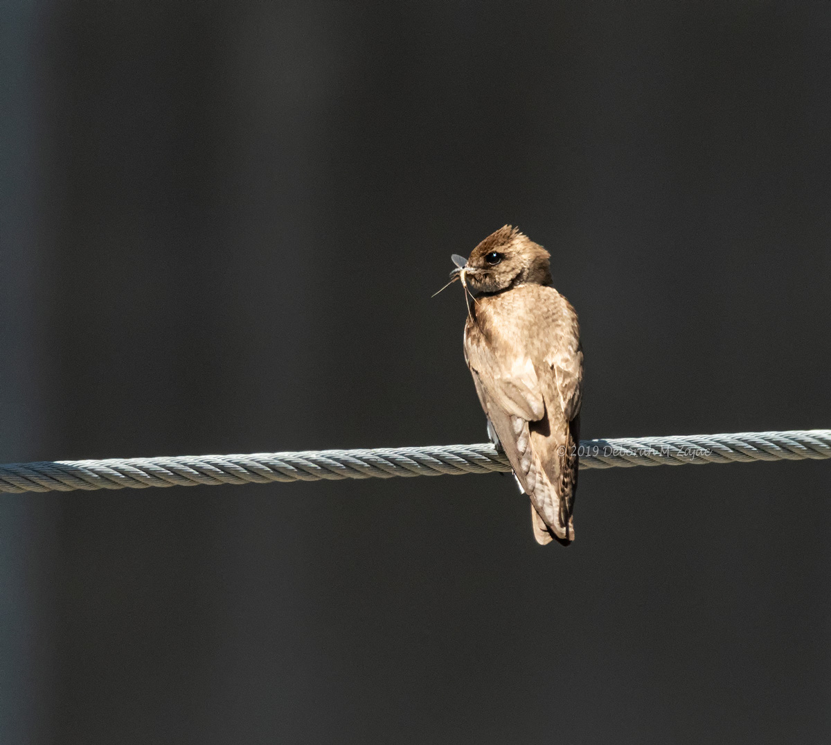 Roughed-winged Swallow with Lunch