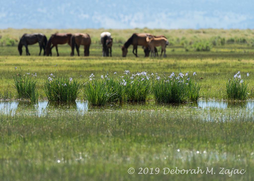 Wild Iris and Mustangs