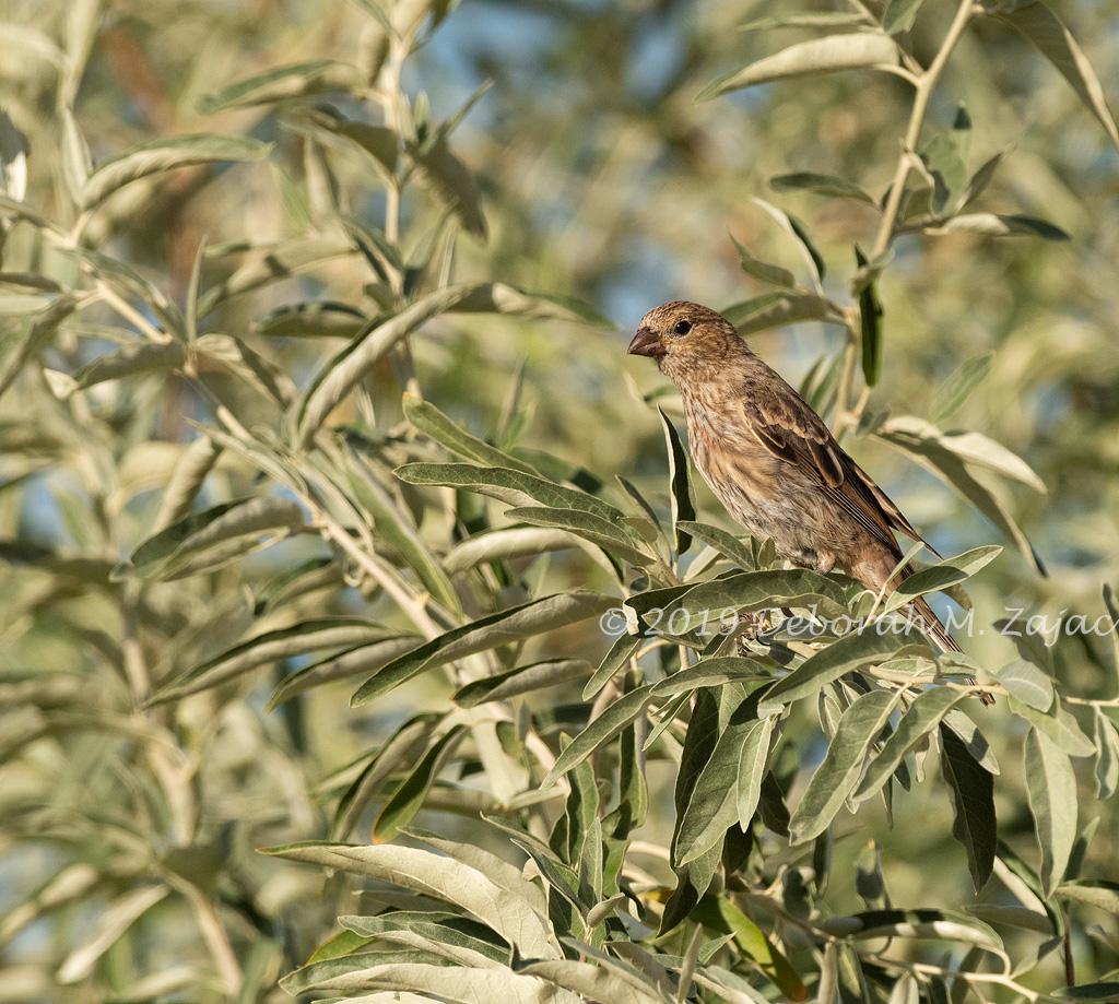 Female Finch