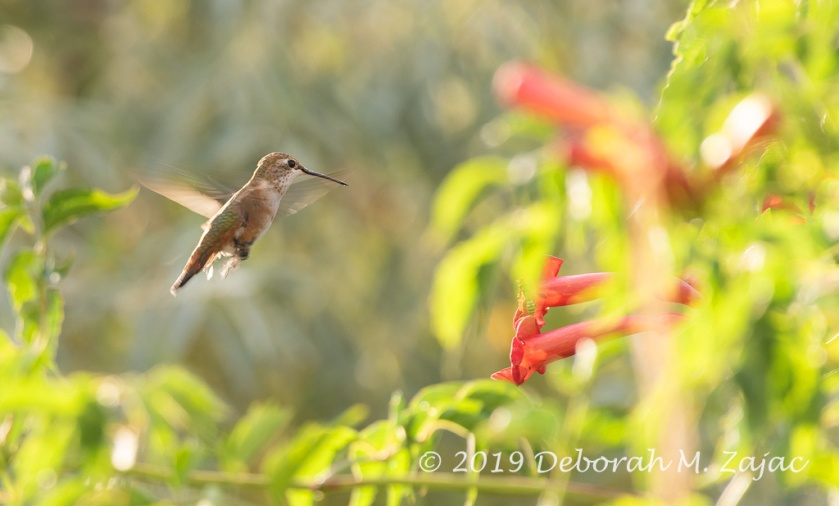 Rufus Hummingbird-Female