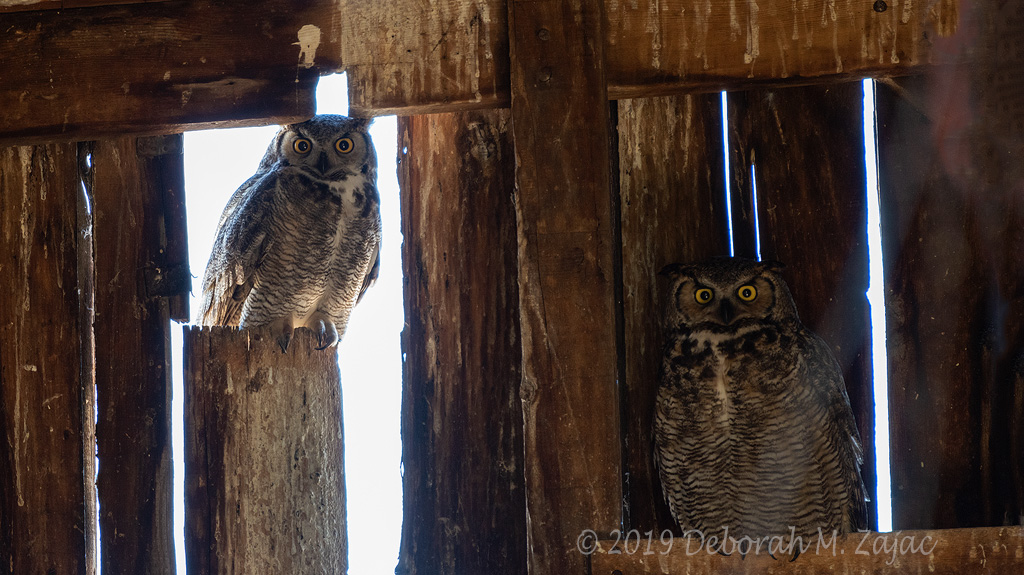 Great-horned Owl Pair