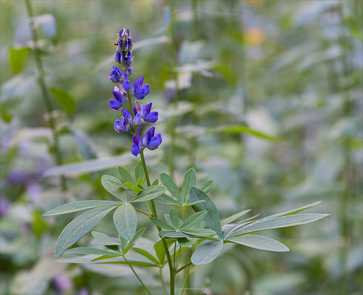 Mountain Lupin