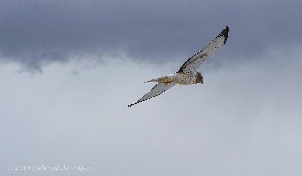 Harrier Hawk Male