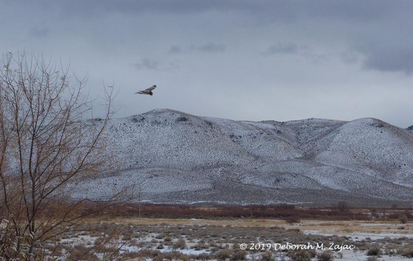 Harrier Hawk in Flight