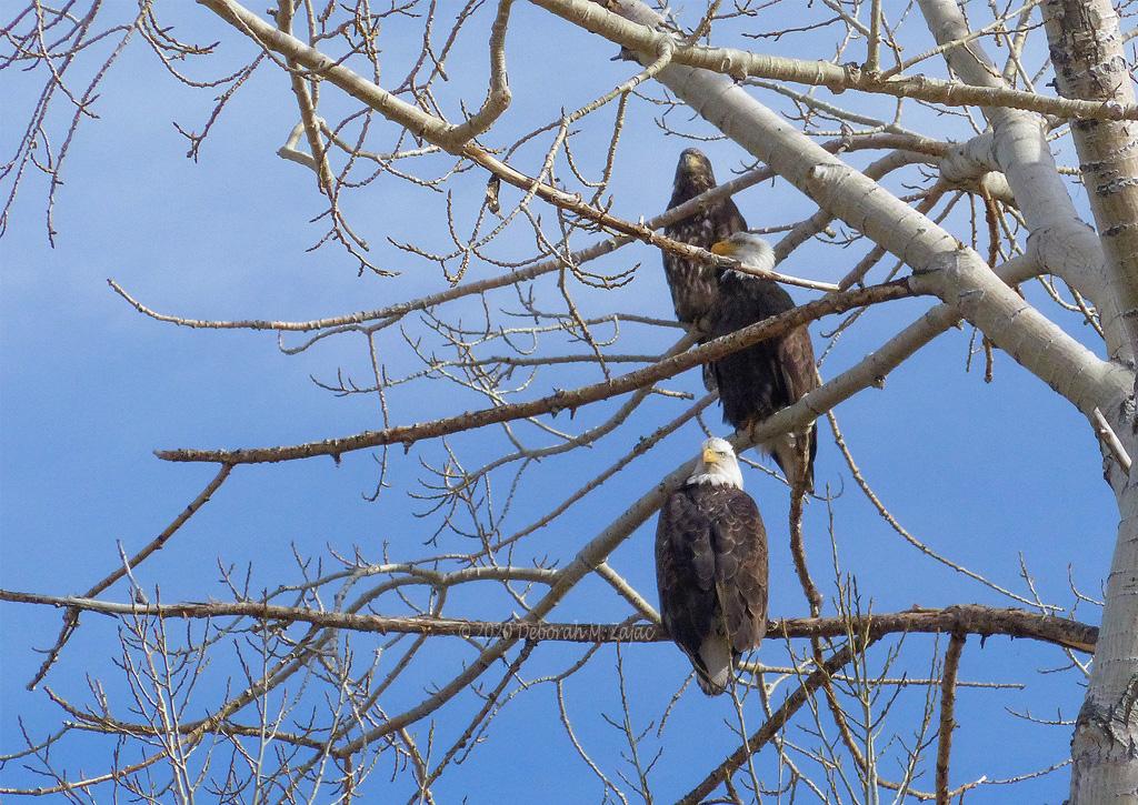 American Bald Eagle Family