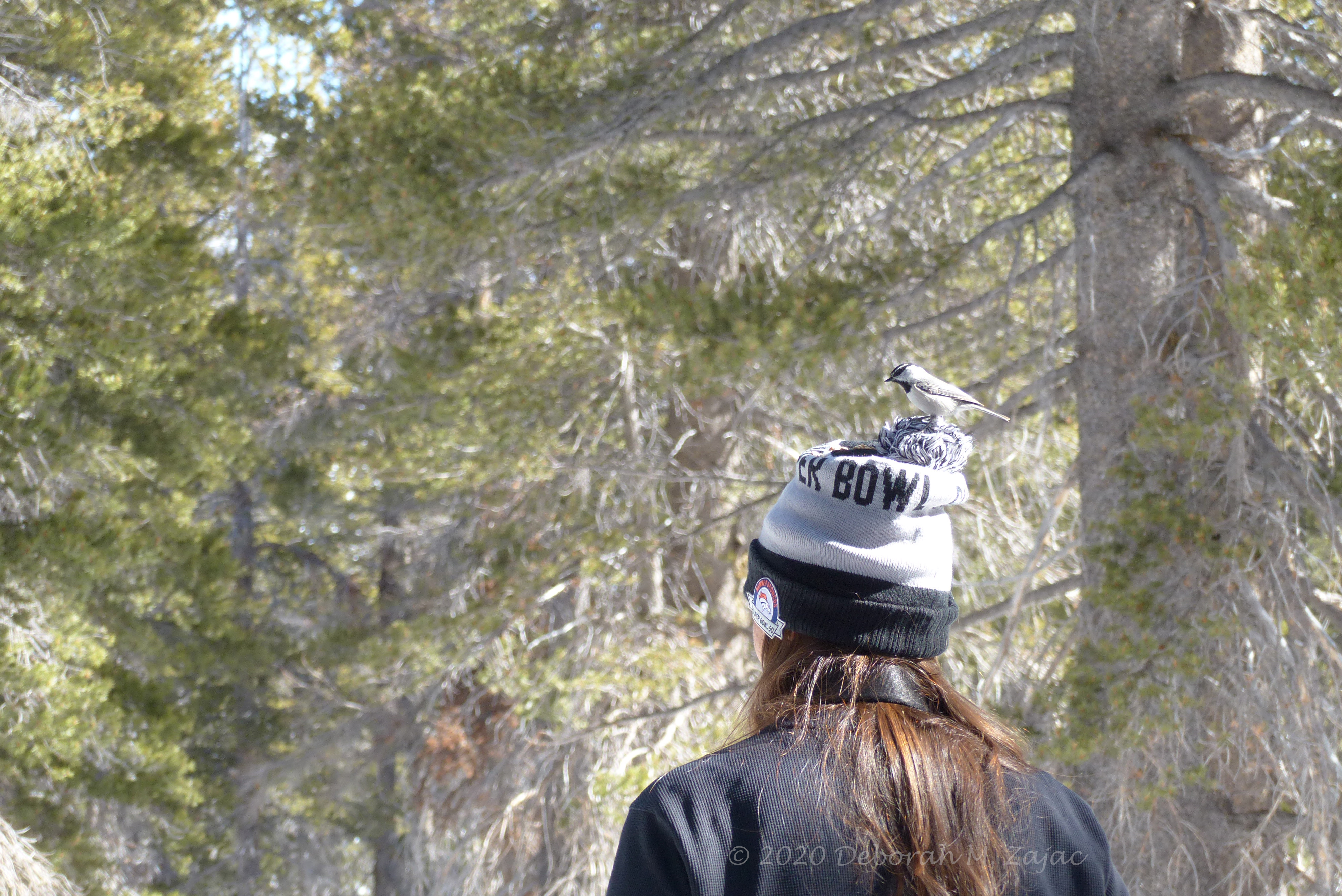 Chickadee on Anna's Hat