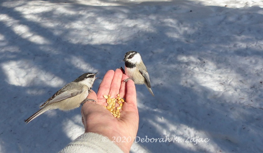 Mountain Chickadees