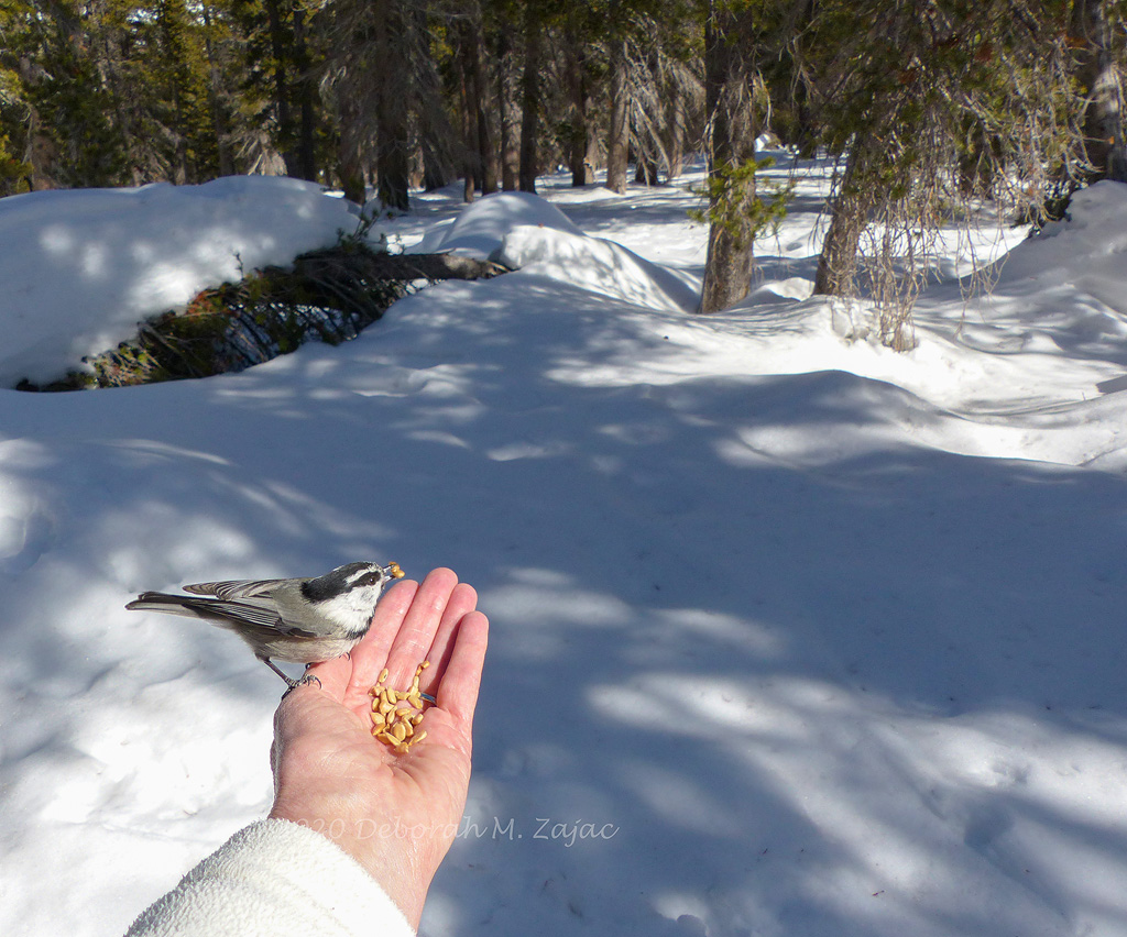 Moutain Chickadee