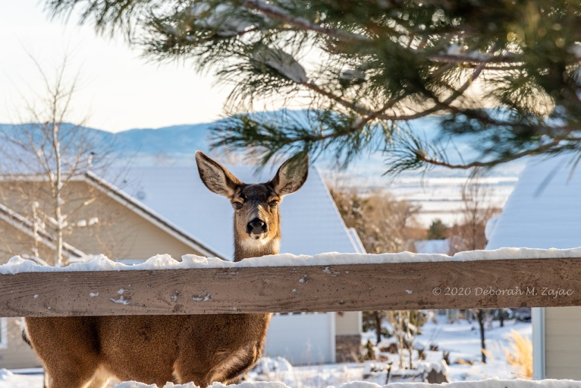 Doe Mule Deer