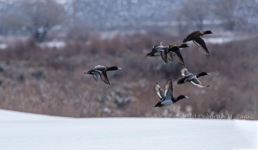 Lesser Scaup Males in Flight