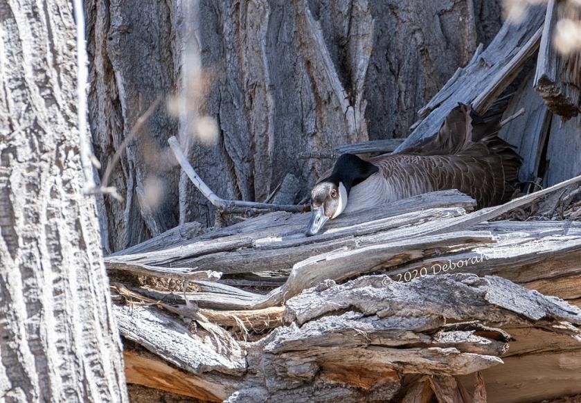 Goose Nesting