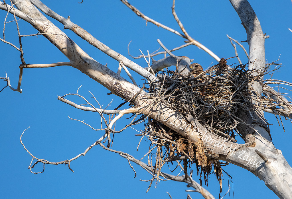Hawk in the Nest